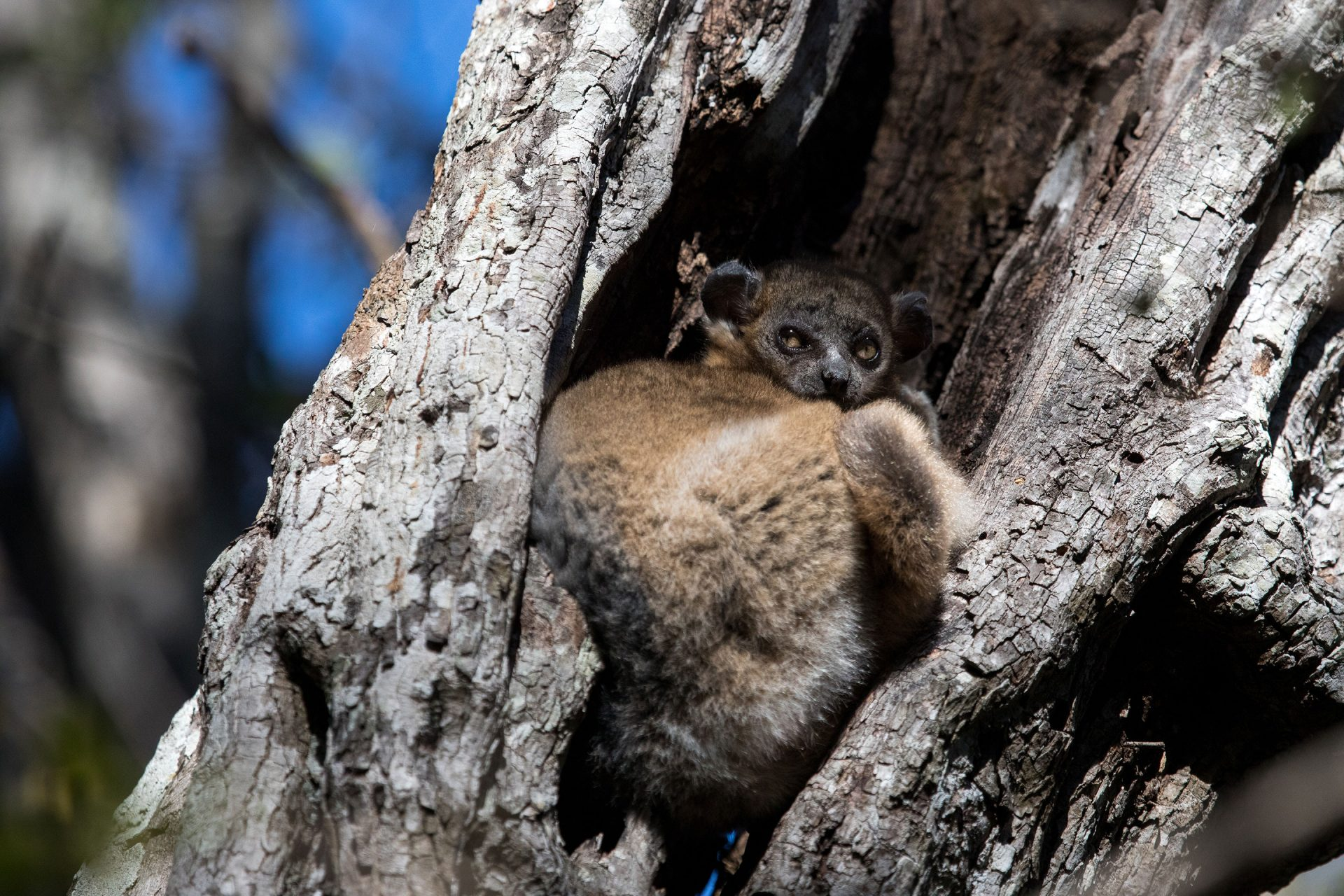 Day roosting Sportive Lemur