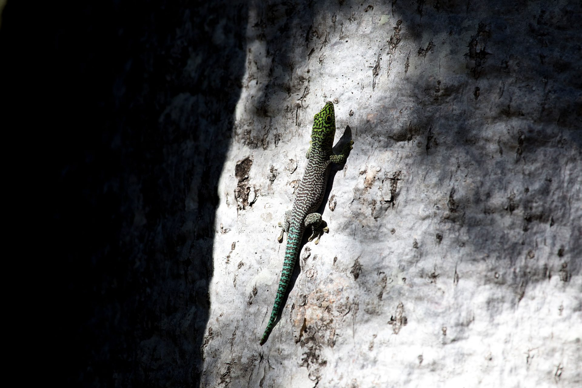 Standing's Day Gecko 2
