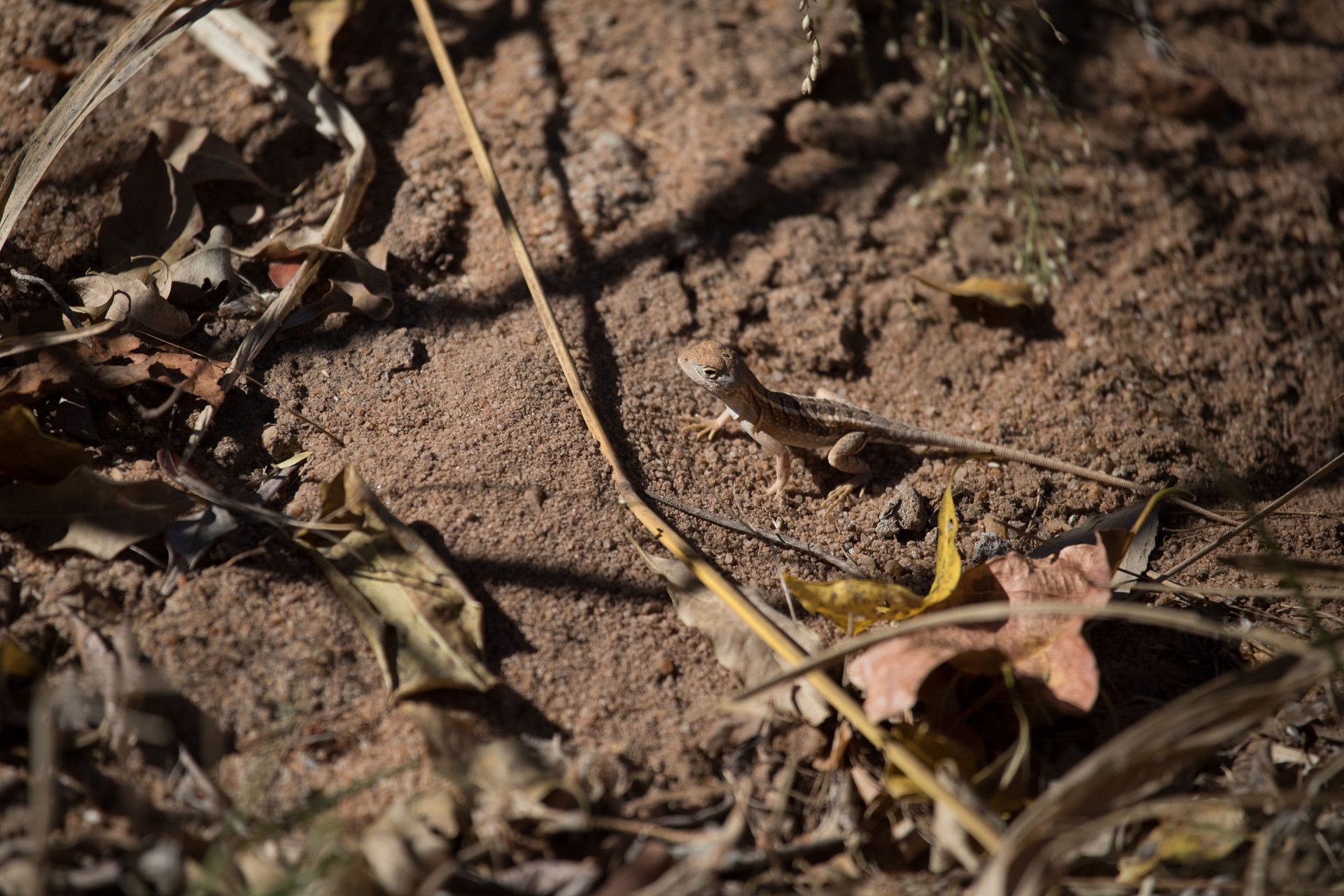 Three-eyed Lizard. Check out the third eye on the back of its head.