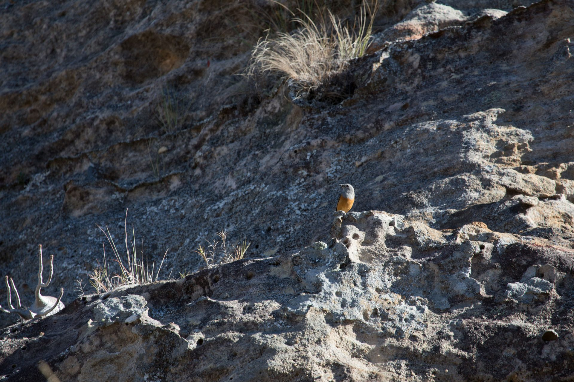 Madagascar Rock Thrush