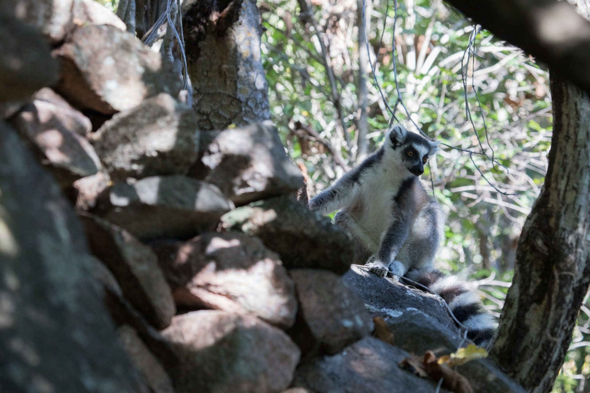 King Julian! (Ring-tailed Lemur)