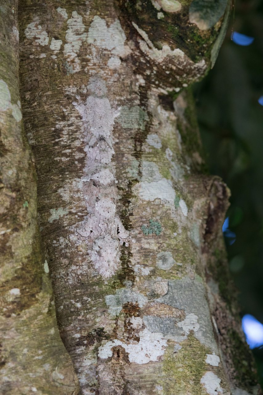 Find the Mossy Leaf Gecko!