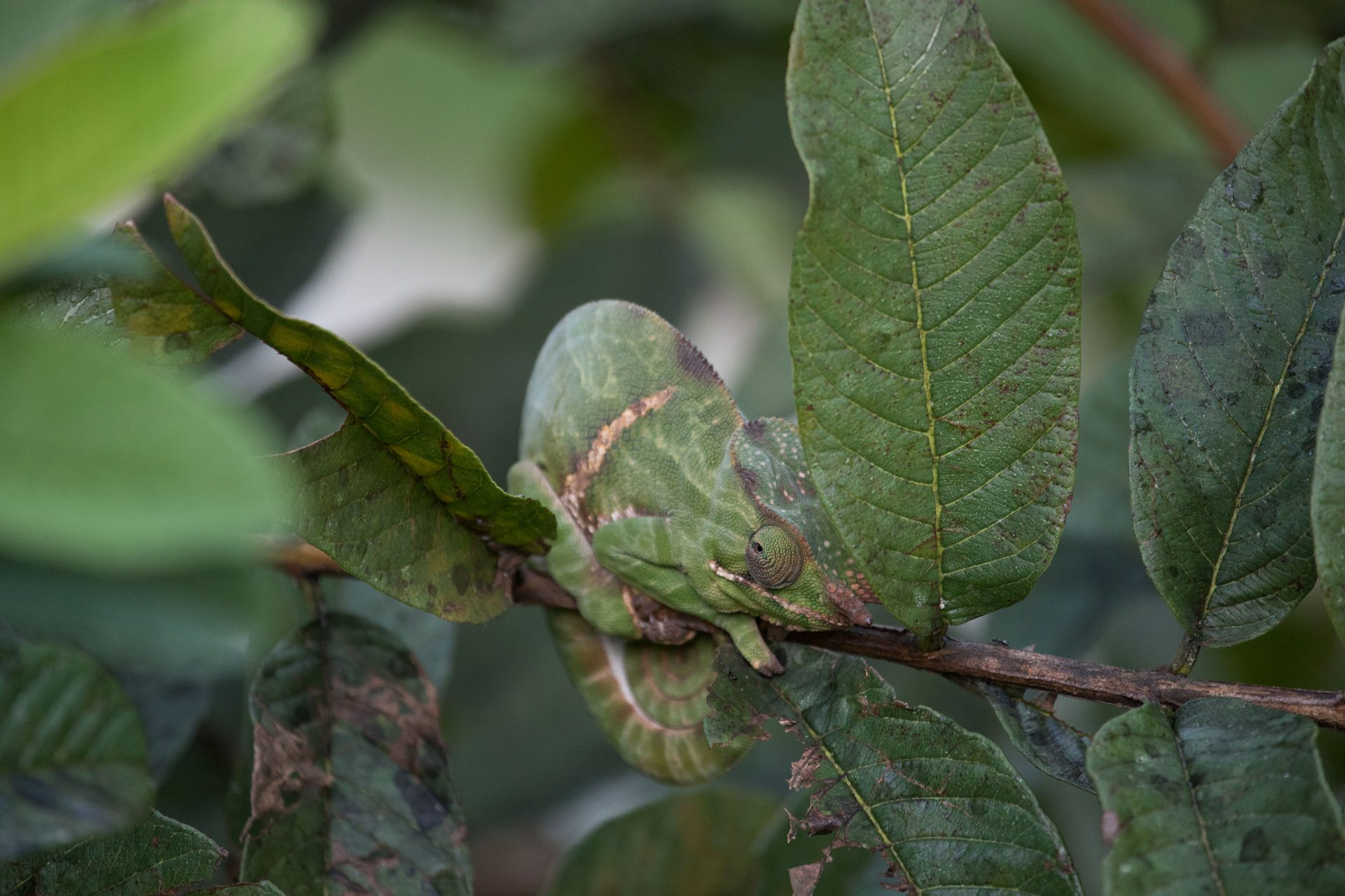 Two-banded Chameleon