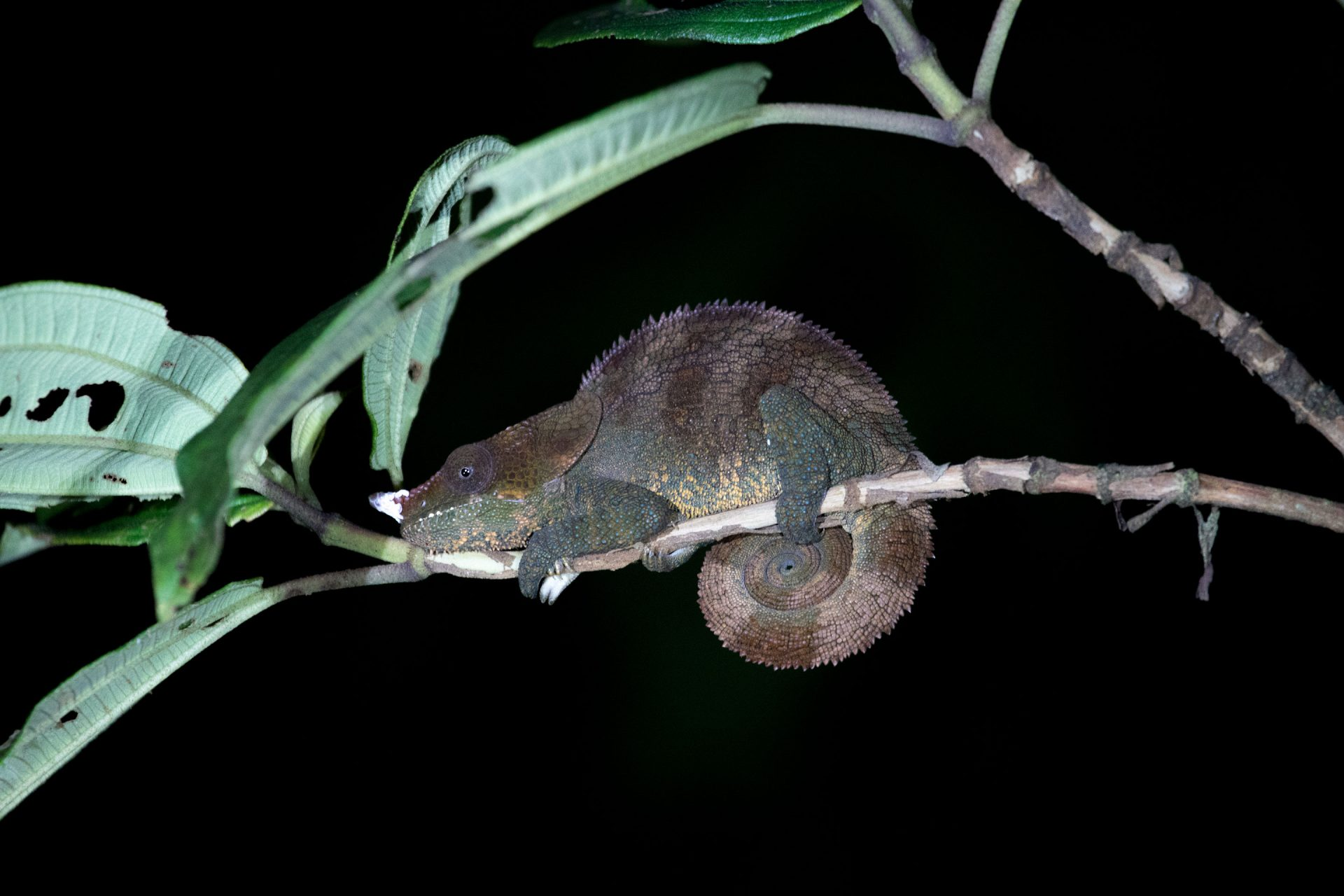 Cryptic Chameleon