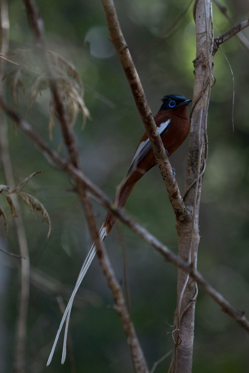 Male (red morph) Madagascar Paradise Flycatcher