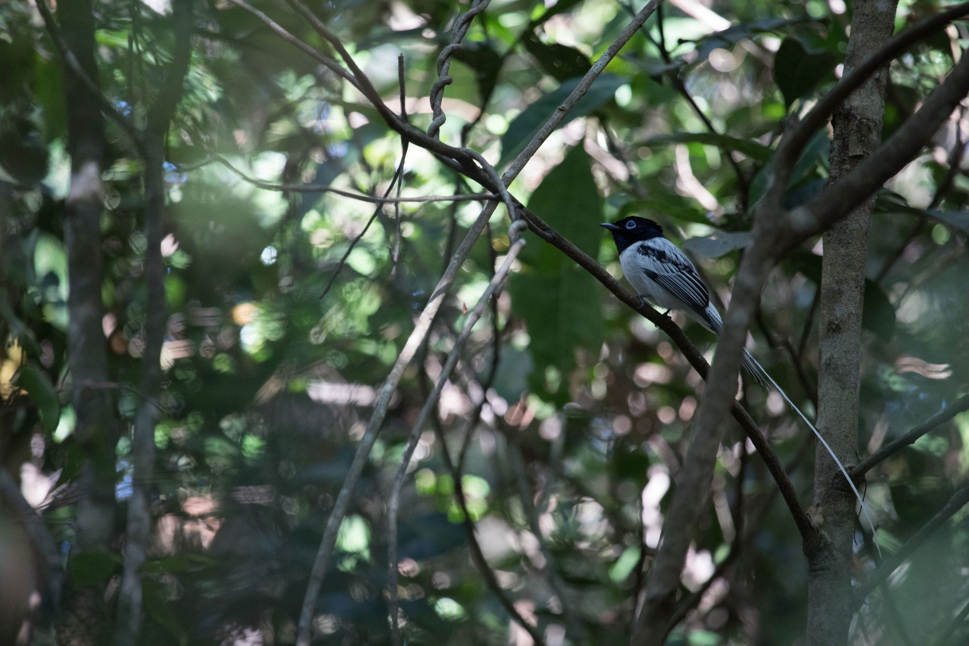 Male (white-morph) Madagascar Paradise Flycatcher