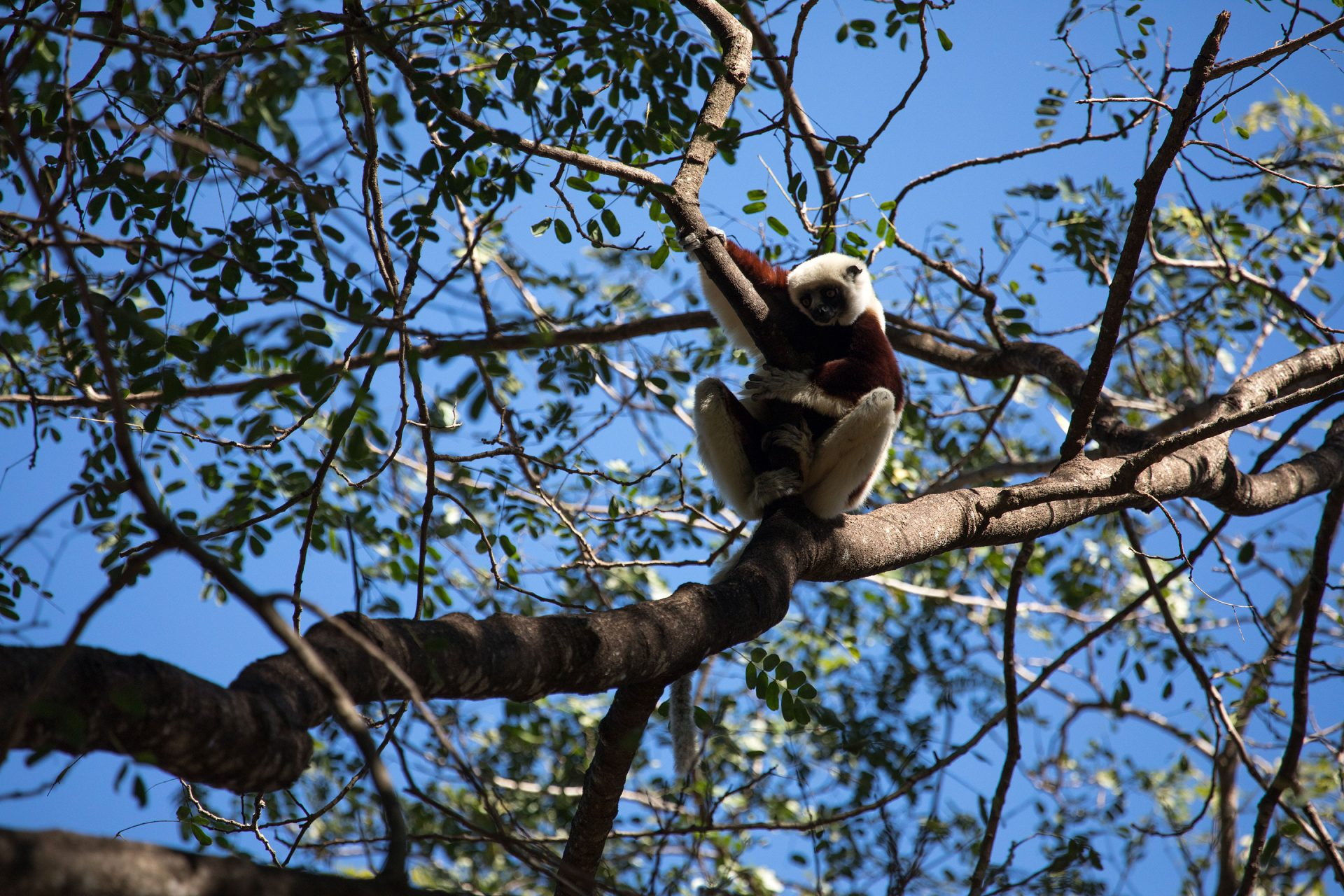 Coquerel's Sifaka in Ankarafantsika National Park