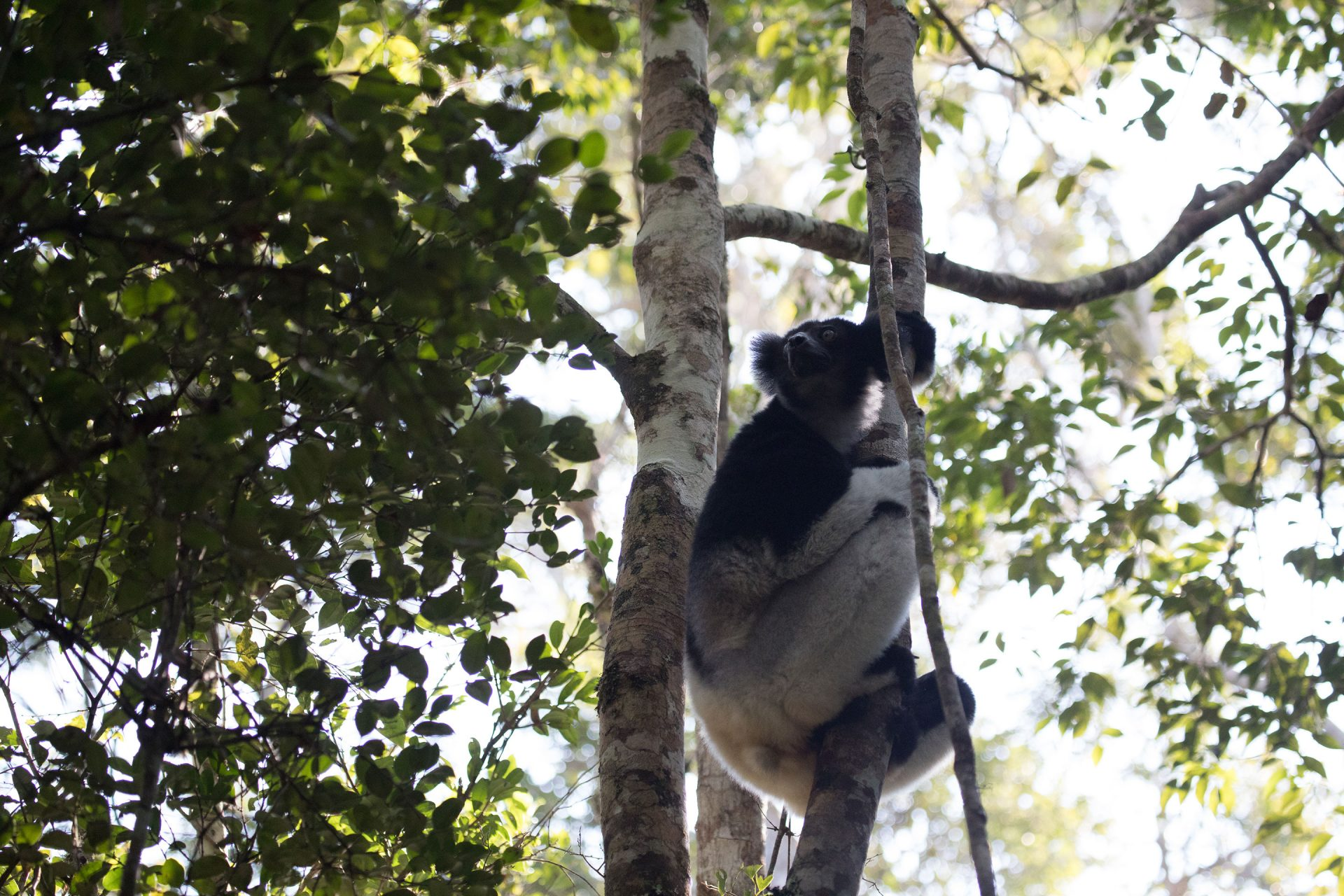 Indri is Madagascar's largest (non-extinct) lemur species. It's booming call is penetrating and eerie.